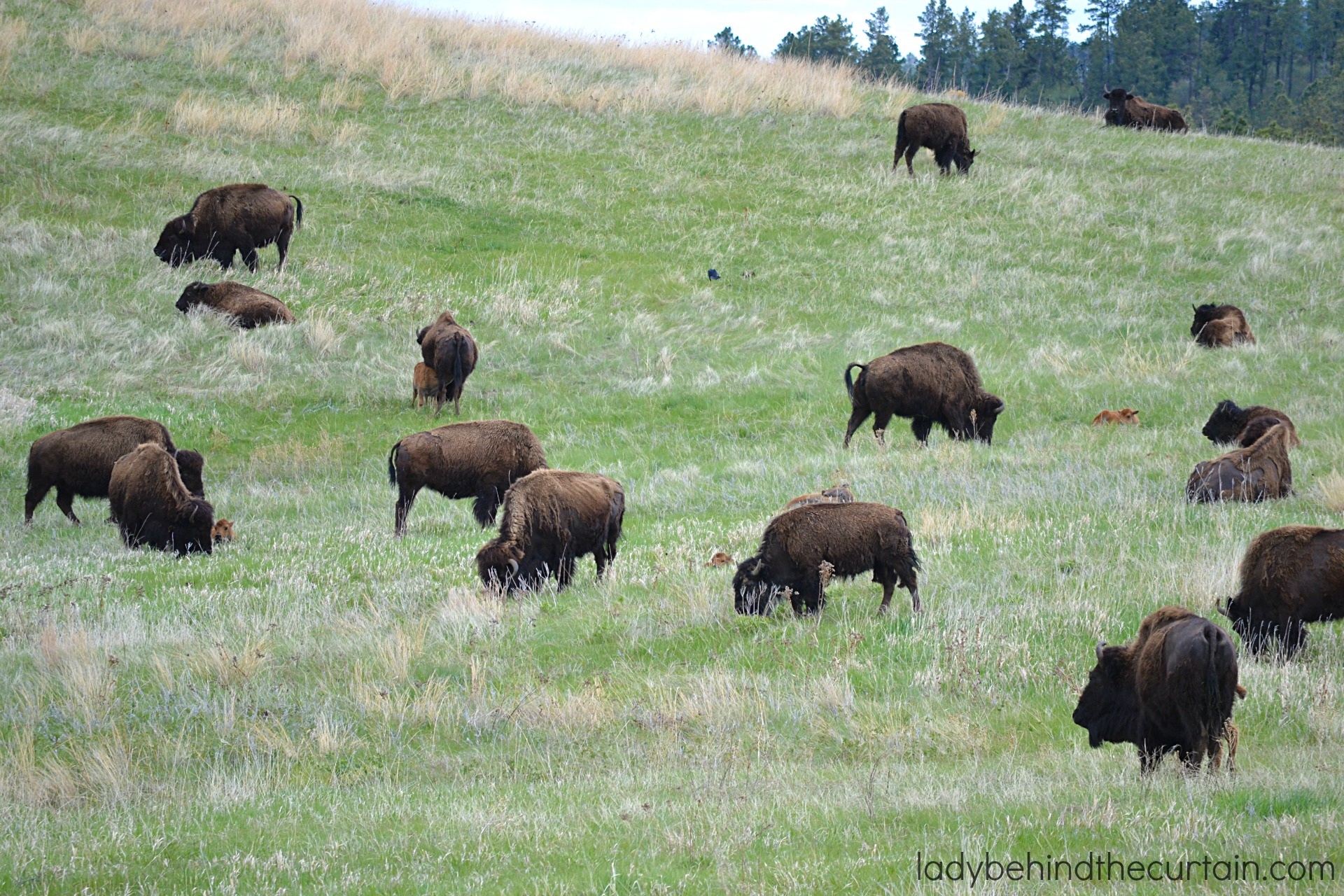 Our Vacation in Custer State Park South Dakota   Voted the BEST drive you'll EVER take and the perfect kid friendly summer vacation!